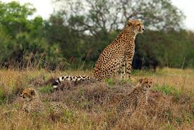 Cheetah and cubs (Photo by Charles J. Sharp)