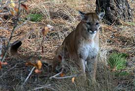 A cougar at Cherry Meadows, BC (Photo by Walter Latter)