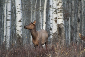 Cow elk, Riding Mountain Aspen Parkland, Manitoba (Photo by NCC)