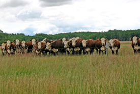 The curious cows at the Yellow Quill Prairie Preserve. (Photo by Diana Robson)