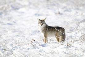 Coyote (Photo by Paul Turbitt)
