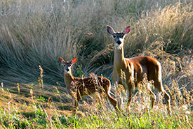 Deer on the Simpson property (Photo courtesy Mike Simpson)