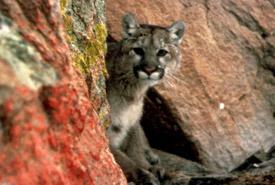 Cougar (Photo de Larry Moats, courtesy of USFWS)