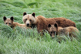 Glendale grizzlies, British Columbia (Photo by Klaus Gretzmacher)
