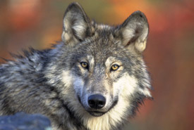 Grey wolf (Photo by Gary Kramer, courtesy of USFWS)