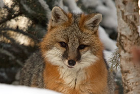Gray fox (Photo by John James Henderson)
