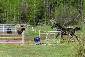 Grizzly bears attempt to corner a horse.