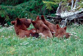Grizzly and cubs on Darkwoods (Photo by NCC)
