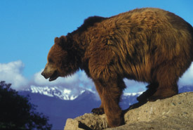 Grizzly bear (Photo by Erwin and Peggy Bauer/USFWS)
