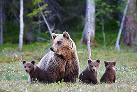 Grizzly bear mother and her cubs (Photo by Getty Images)