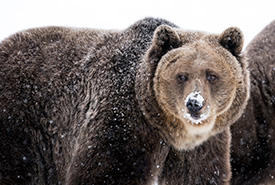 The hump on a grizzly bear's back is a huge muscle (Photo by Getty Images)