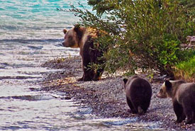 Grizzly with cubs at Chilcotin River (Photo by NCC)