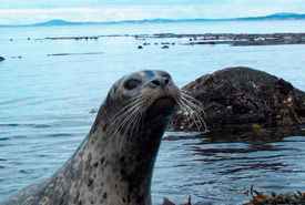 Harbour seal (Photo by Ryan Murphy)