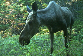 Moose browsing in Freshwater Bay, captured on trailcam (NCC photo)