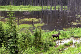 Moose in a wetland, British Columbia (Photo by Thomas Drasdauskis)