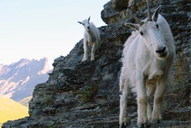 A pair of mountain goats (Photo by Nigel Finney)