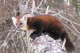 Newfoundland marten in the Grassy Place, NL (Photo by John Gosse)
