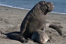 Éléphant de mer (Photo de Mike Baird/iNaturalist)