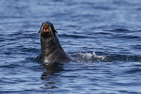Northern fur seal off the coast of Vancouver Island (Photo by Cameron Deckert)