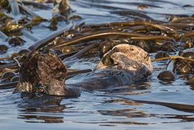 Loutre de mer (Photo de Paul Pratt, CC BY-NC 4.0)