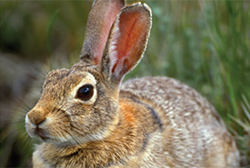 Nuttall's cottontail (Photo by Robert McCaw)