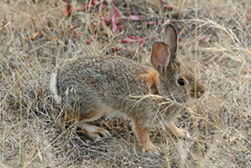 Nuttall's cottontail (Photo by John D Reynolds/iNaturalist)