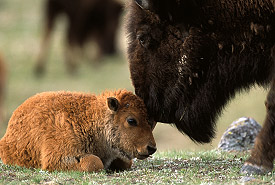 Plains bison calves, Old Man on His Back, SK (Photo by Don Getty)
