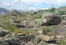 American pika on a scree slope (Photo by Blake Weis/iNaturalist)