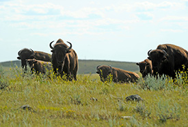 Plains bison (Photo by Mark Taylor)
