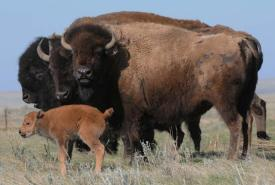 Bisons des prairies (Photo de Steve Zack)
