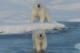 Polar bear mother and cub, Jones Sound, Nunavut (Photo by NCC)
