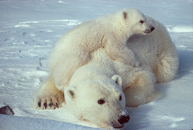 Polar bear mother with cub (Photo by Scott Schliebe/Wikimedia Commons)