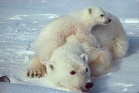 Polar bear mother with cub (Photo by Scott Schliebe/Wikimedia Commons)