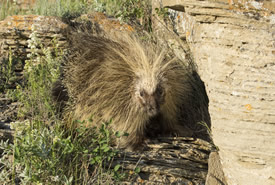Porcupine at Hole in the Wall (Photo by Jason Bantle)