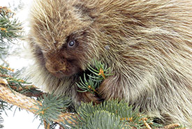 Porcupine at Sandstone Ranch, AB (Photo by Ken Orich)