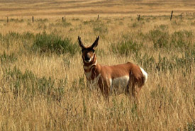 Pronghorn in Alberta (Photo courtesy of the University of Calgary)