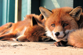 Red foxes (Photo by GDallimore/Wikimedia Commons)