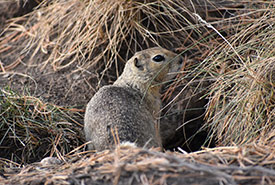 Each individual squirrel has its own unique burrow called a hibernaculum (Photo by Dean Hester CC-BY-NC)