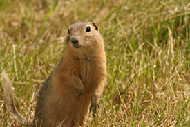 Richardson's ground squirrel (Photo by NCC)