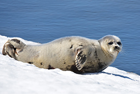 Ringed seal pup (Photo by Curt McCamy/iNaturalist)
