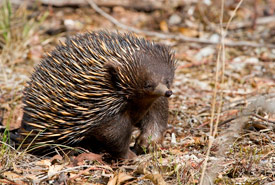 Short-beaked echidna (Photo by Patrick Kavanagh/Wikimedia Commons)