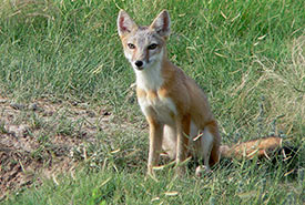 Swift fox (Photo by USFWS Mountain-Prairie)