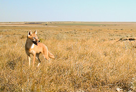 Swift fox in southern Alberta (Photo by NCC)