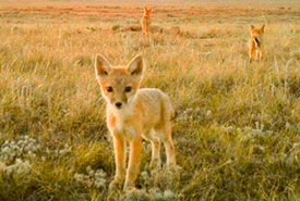 Swift foxes on NCC site (Photo by NCC)