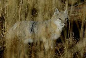 Swift fox (Photo by Karol Dabbs)