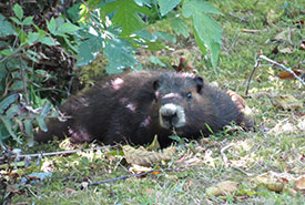 Vancouver Island Marmot (Photo by John D. Reynolds/iNaturalist CC BY-NC)