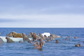 Walruses, Lancaster Sound (Photo by Mario Cyr)