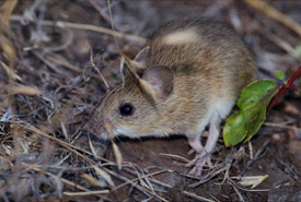Western harvest mouse, the real life Pikachu!  (Photo by Andy Teucher)