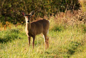 White-tailed deer (Photo by Dean Mullin)