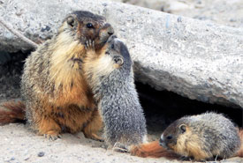Yellow-bellied marmots at Rattlesnake Bluffs (Photo by Alan Vernon)
